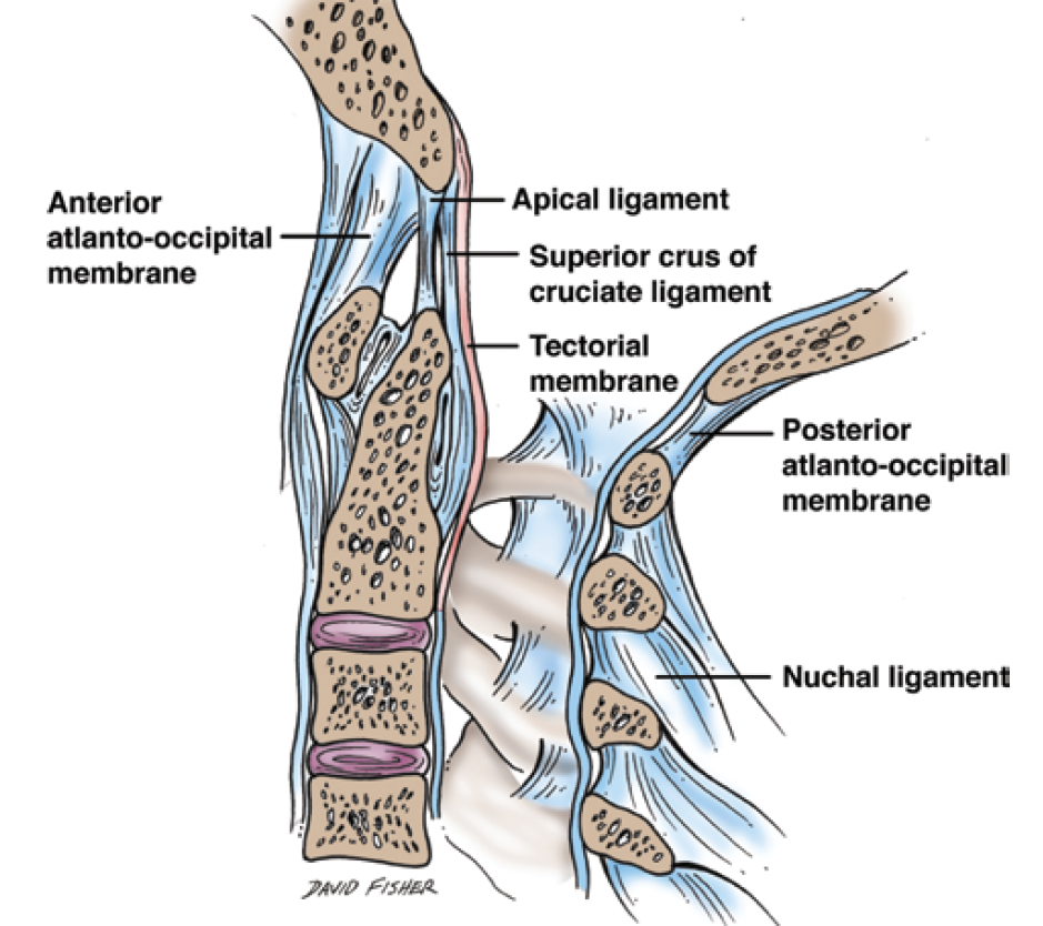 Upper Cervical Ligaments